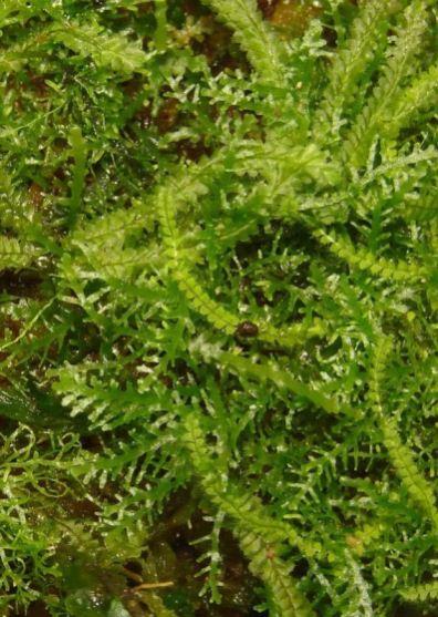 Plagiochila growing with Riccardia