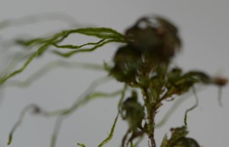 Sporelings on an old filmy fern leaf