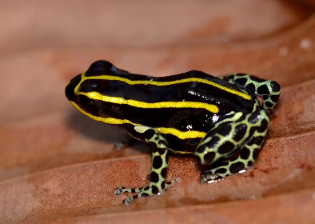 Ranitomeya sirensis