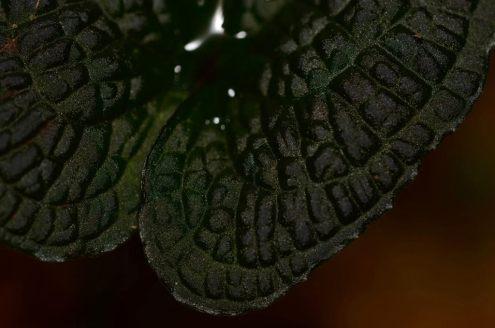 Anthurium clidemioides