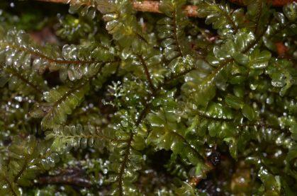 Plagiochila species Ecuador