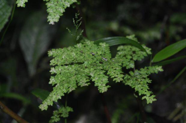 Pilea myriophyllum