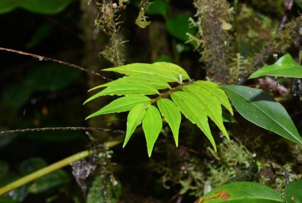 Peperomia species Rio Blanco, Ecuador