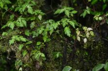 Pilea species Mindo, Ecuador