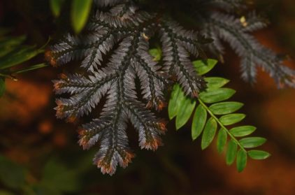 Selaginella species Rambala