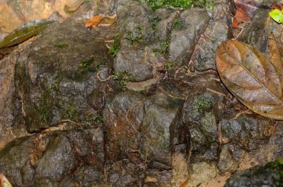 In this area Dendrobates auratus, Oophaga vicentei, Atelopus varius, and a Silverstoneia nubicola .
