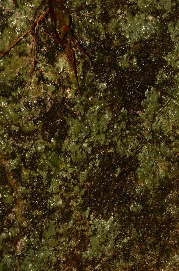 Bocas Del Toro, Panama. Area of Oophaga pumilio, Dendrobates auratus, Phyllobates lugubris, Andinobates claudiae, Silverstoneia