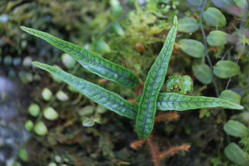 Microgramma aff. lycopoidoides