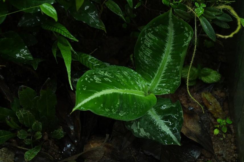 Dieffenbachia harlingii