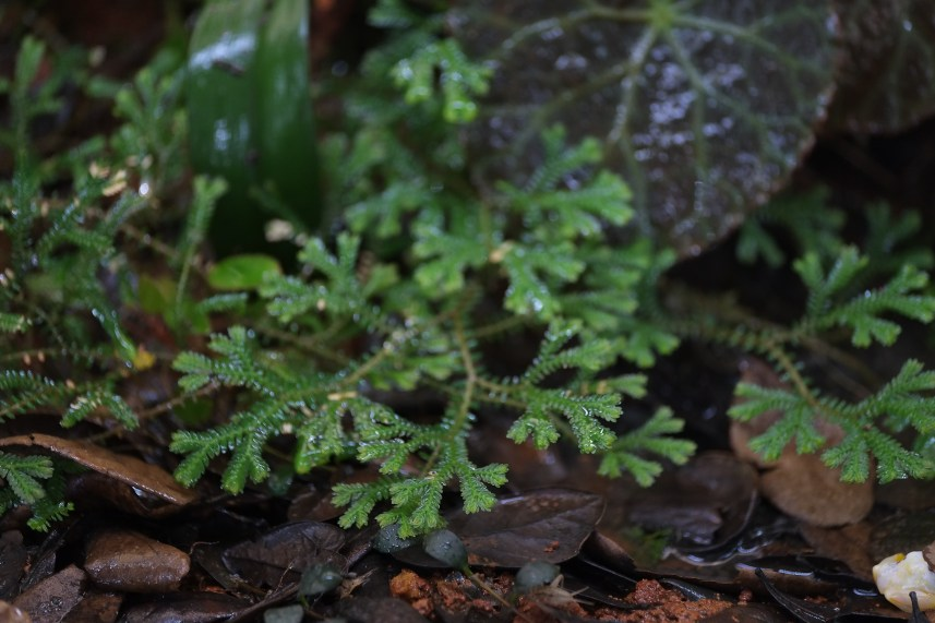 Selaginella sp. Madagascar