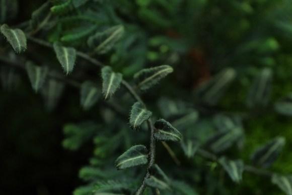 solanum white stripe