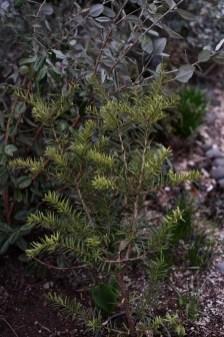 Podocarpus hallili UCSC 2008.489