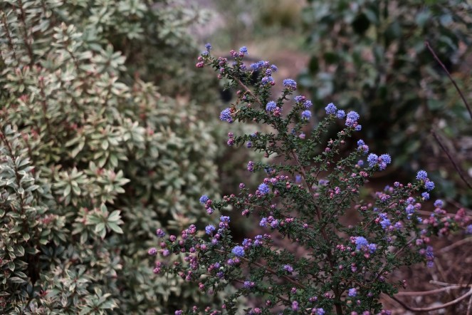 Ceanothus 'dark star' and Andromeda sp.