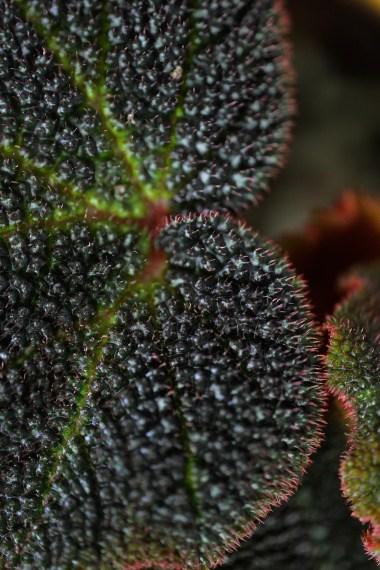 Begonia sole-mutata