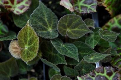 Begonia ningmingensis