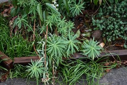 Euphorbia ceratocarpa