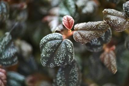 Peperomia aff. antoniana