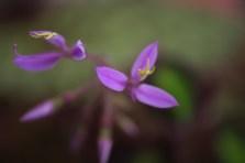 Sonerila pulchella
