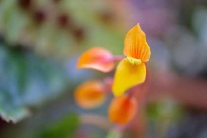 Begonia montis-elephantis