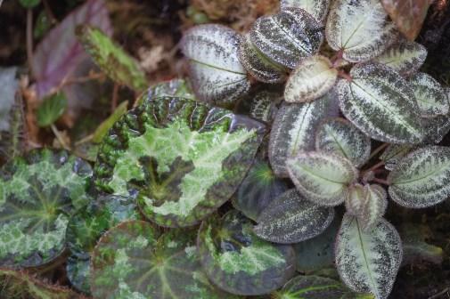 Begonia sizemoreae and Bertolonia sandriana 'marmorata'