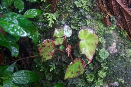 Begonia with the moss Hypopterygium tamariscina in the lower right hand corner