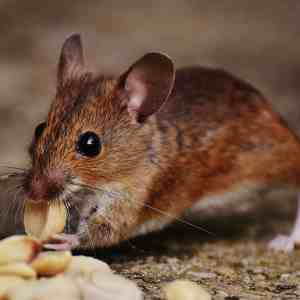 Do Mothballs Keep Mice Away?