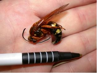 CicadaKillerCloseUp