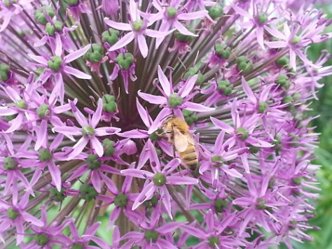 Flowering plants in your yard provide resources to bees. Photo Credit: PJ Liesch