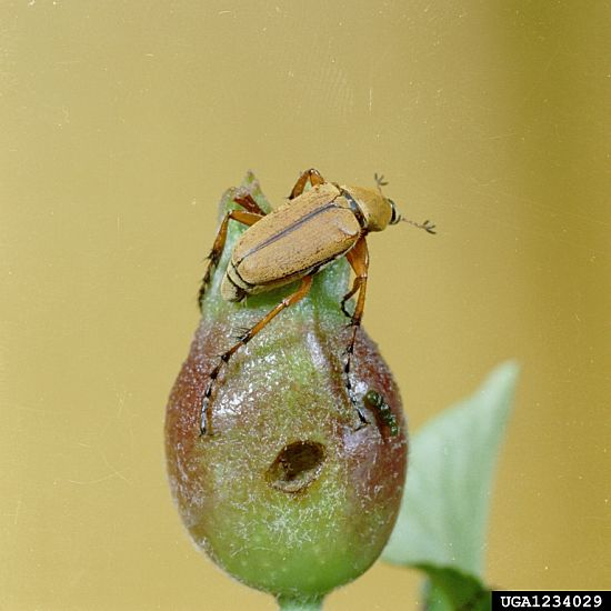 #3: Several scarab beetles, including the rose chafer caused notable plant damage last year. Photo Credit: Clemson University Extension, Bugwood.org.