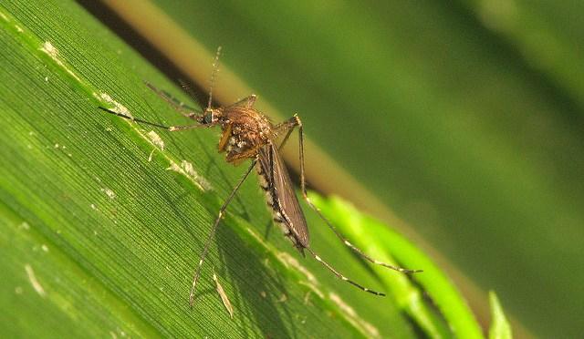 "September's Mosquito ""Madness"""