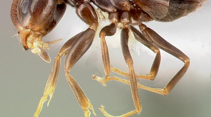 Identifying Insects by Smell, Part 2: Odorous House Ants