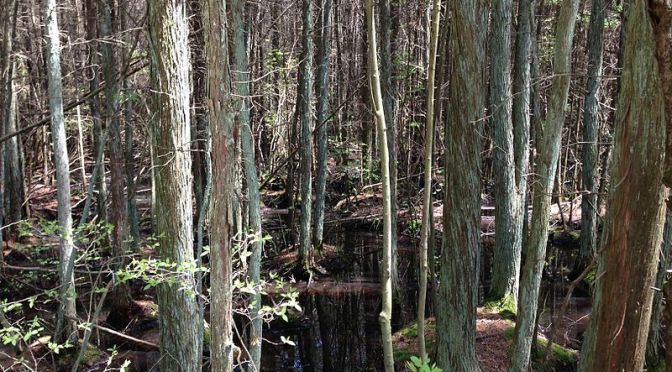 Cedar swamp in New Jersey.