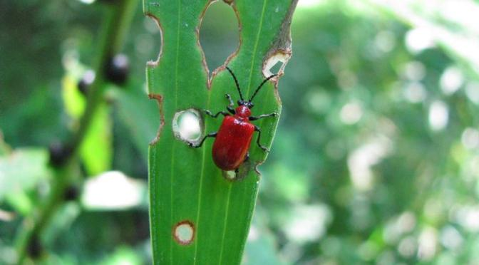 Red Alert for the Lily Leaf Beetle