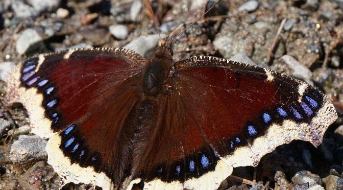 5 Spring Butterflies to Brighten Your Day