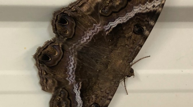 Riding the Wind: Storms Transport Rare Moths to Midwest