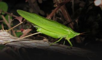 Night-Time Noisemakers: Singing Insects