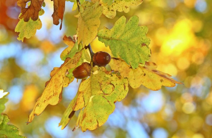 The Oak Mite Is Itching to Get You: Get Relief