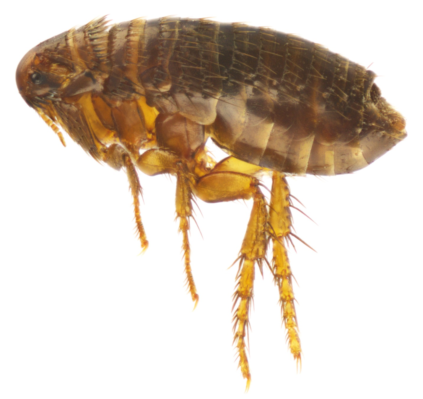 Fleas Insectox