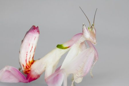 The beautiful orchid mantis from malaysia, also known as Hymenopus Coronatus