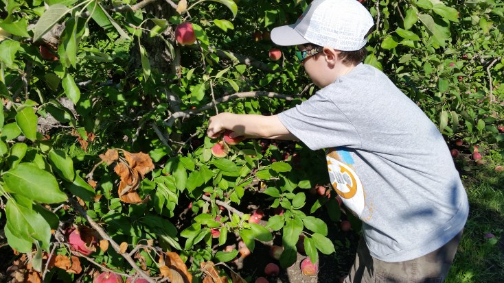 Picking apples at an orchard