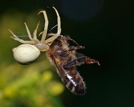 Ślądkowice 29.05.2010 Pszczoła miodna, pomimo posiadania żądła, to częsta ofiara kwietnika