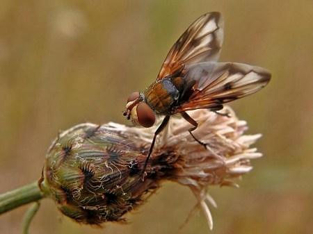 Widzew 07.08.2010 Samiec - widoczne plamki przy wierzchołkach skrzydeł