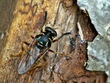 Las wiączyński 29.05.2011 Na niebiesko zaznaczyłem niektóre cechy diagnostyczne gatunku