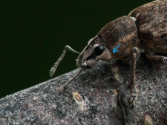 Niebieska strzałka wskazuje pęczek skierowanych ku przodowi włosków pozwalających odróżnić gatunek od oprzędzików z rodzaju Sitona
