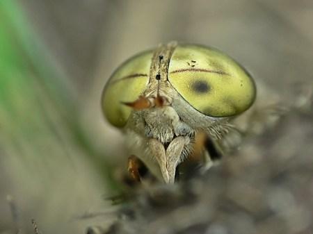 Widzew 01.07.2012 Dychoptyczne oczy samicy