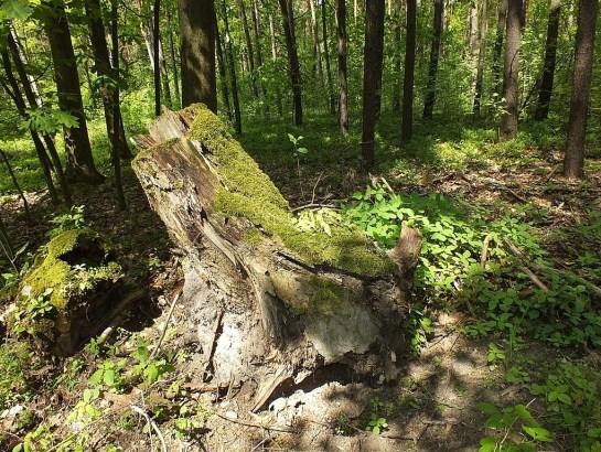 Las żeromiński. Wykrot, przy którym znalazłem jednego osobnika