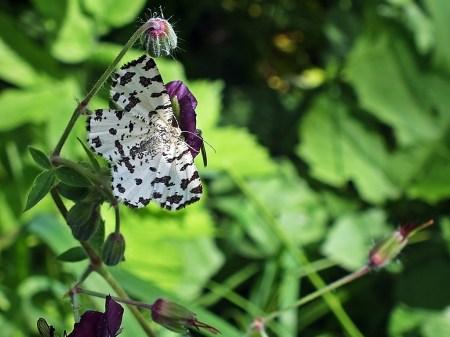 Wołosate 26.05.2014 Osobnik o wyjątkowo jasnych, niemal białych skrzydłach