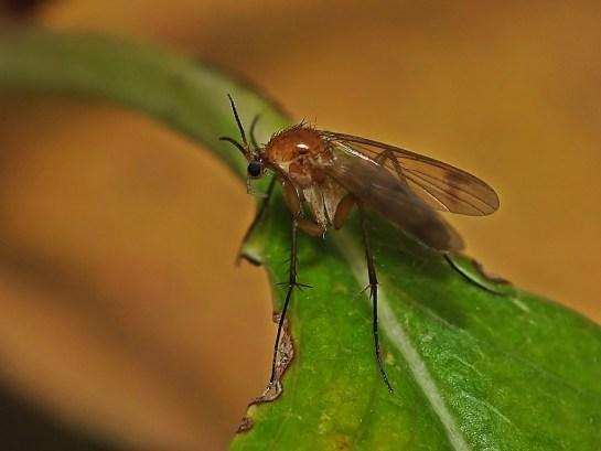 Widzew 20.10.2014 ( Mycetophila sp? ) Widoczne wydłużone biodra