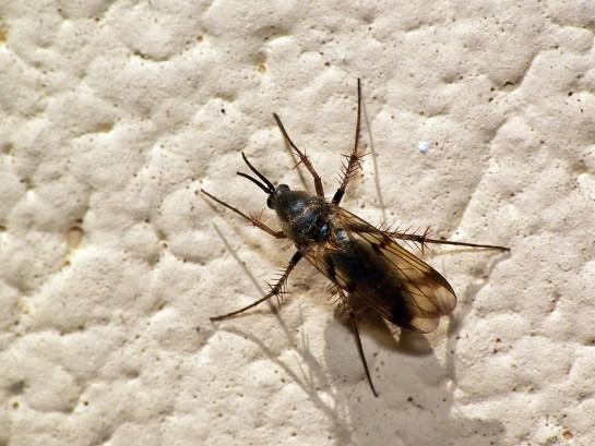 Widzew 11.04.2012 Widoczne ostrogi apikalne na tylnych goleniach ( tutaj także na goleniach 1 i 2 pary nóg )
