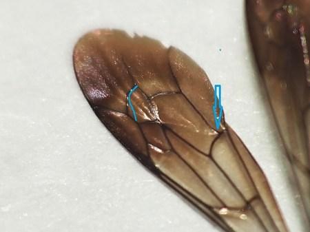 Niebieska strzałka wskazuje opadającą żyłkę CuA1. Niebieska linia imituje kształt 3 komórki submarginalnej u Anoplius nigerrimus